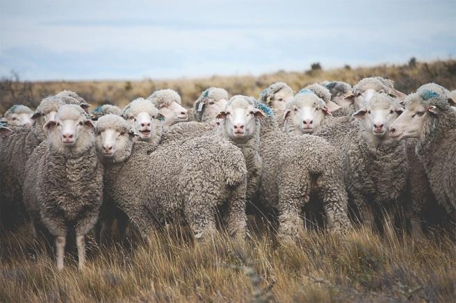 gorgeous sheep